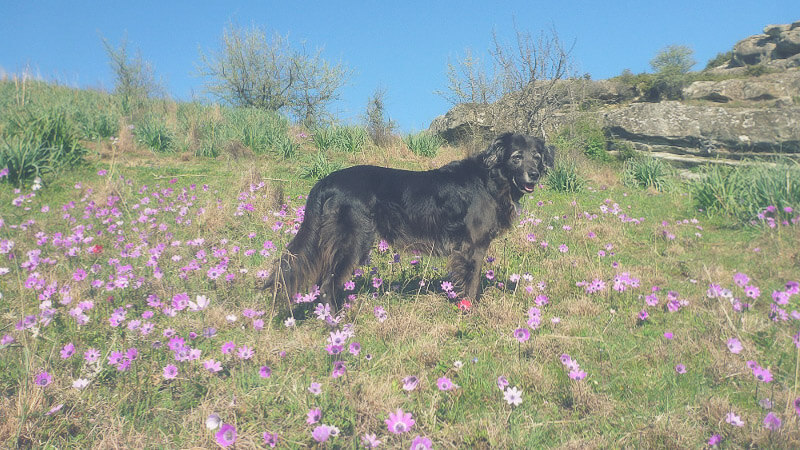 Hund Auf Blumenwiese Bearbeitet