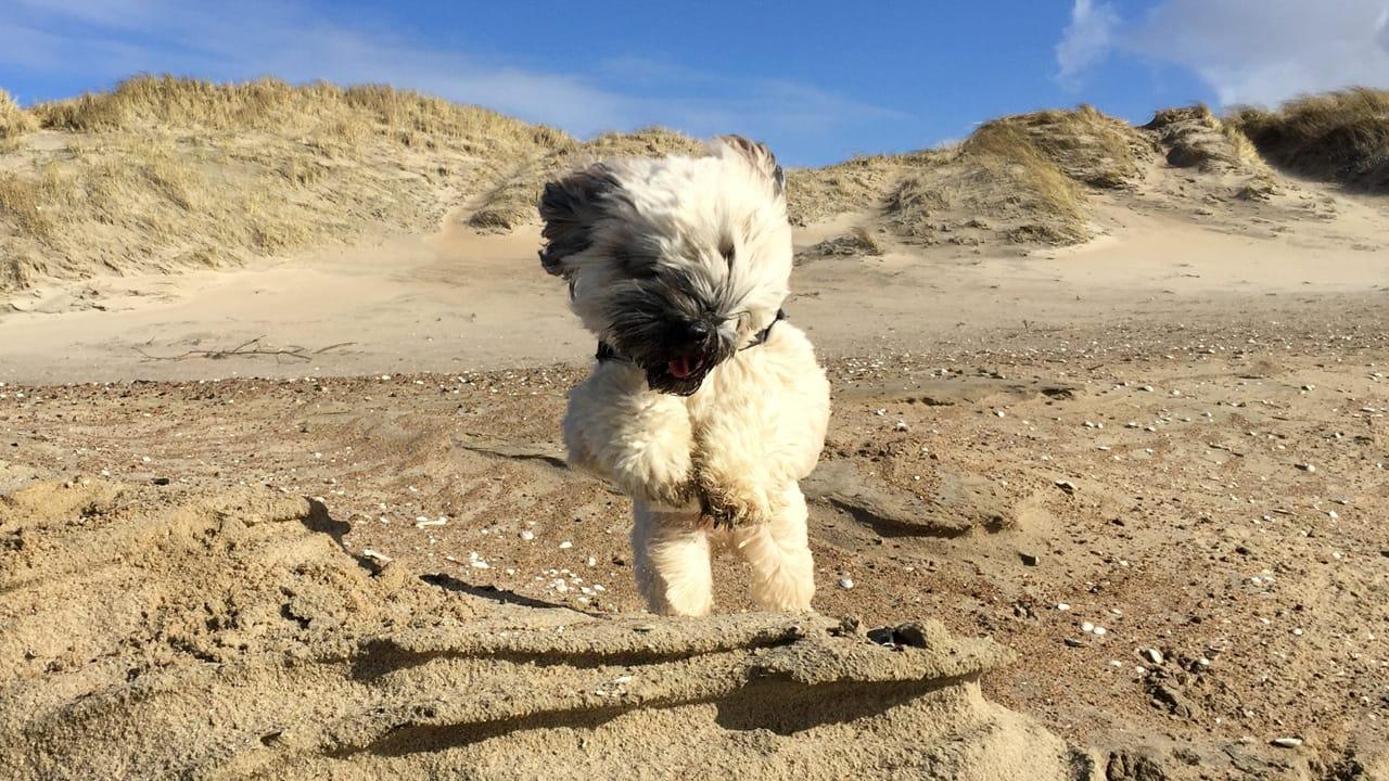Hund Nach Dänemark