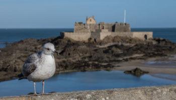 Eine Moewe vor der Festungsmauer in Saint Malo in der Bretagne