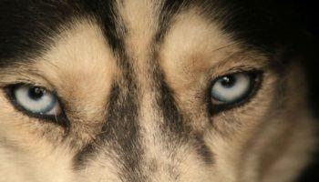 Blick in die Augen eines Huskys