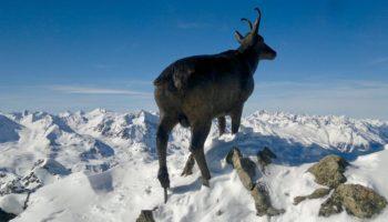 Ein Tier in den Bergen von Oesterreich
