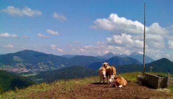 Blick auf Kuehe auf einem Berg beim Wildcamping in Europa